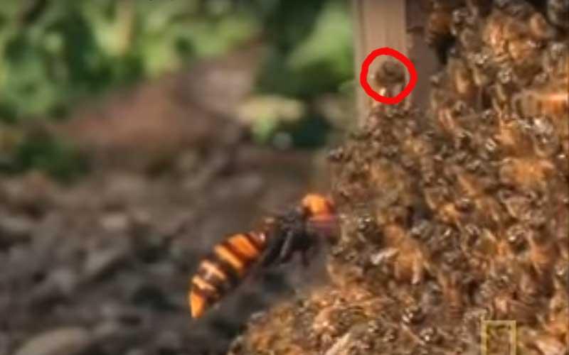 Grootte van een Japanse reuzeoornaar
